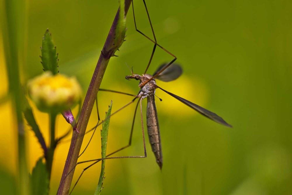 ria-de-aveiro insecto Diptera