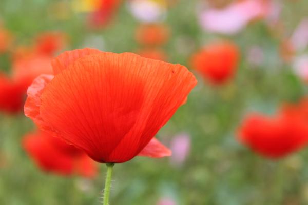 flor papoilas