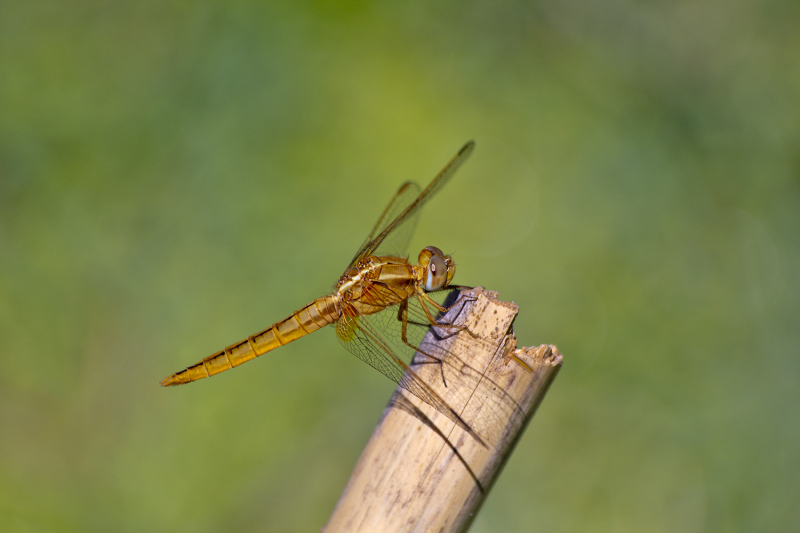 insecto libelinha alcacer-do-sal