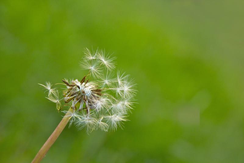 flor dentedeleao leiria