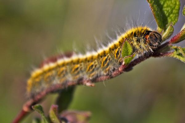lagarta borboleta salgado