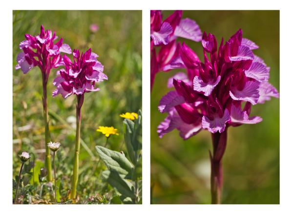 flor pnsac orquídea