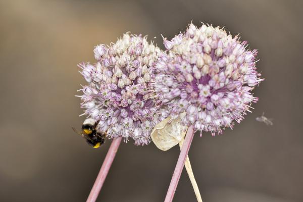 flor abelha peniche