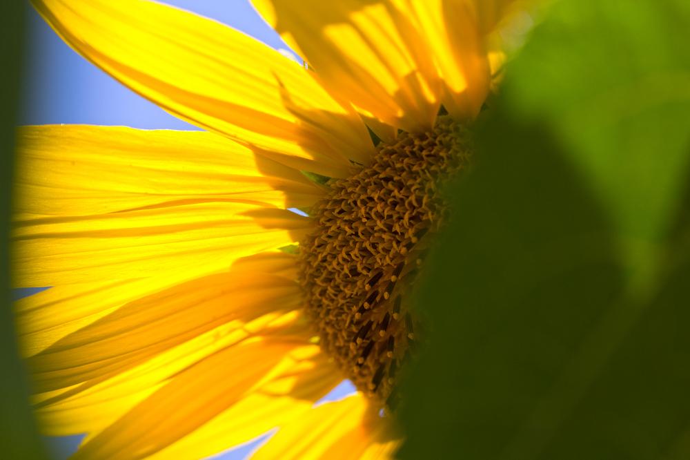flor girassol coimbra