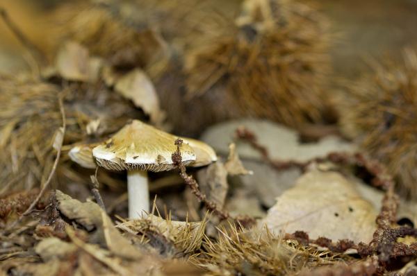 cogumelo lousã outono