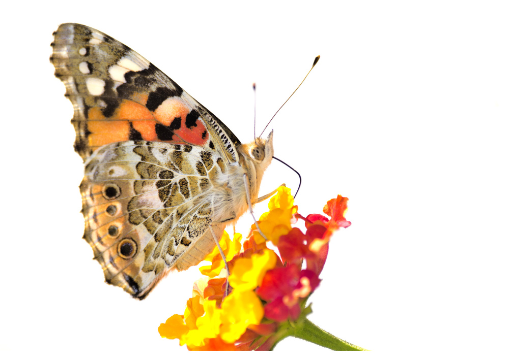 borboleta leiria bela-dama high-key