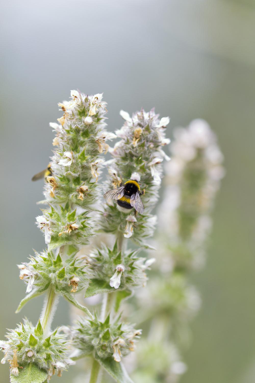 abelha pnsac