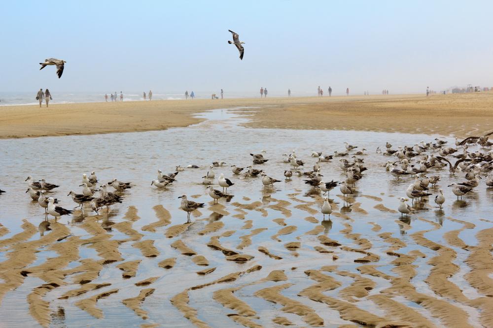 vieira gaivota ave praia mar