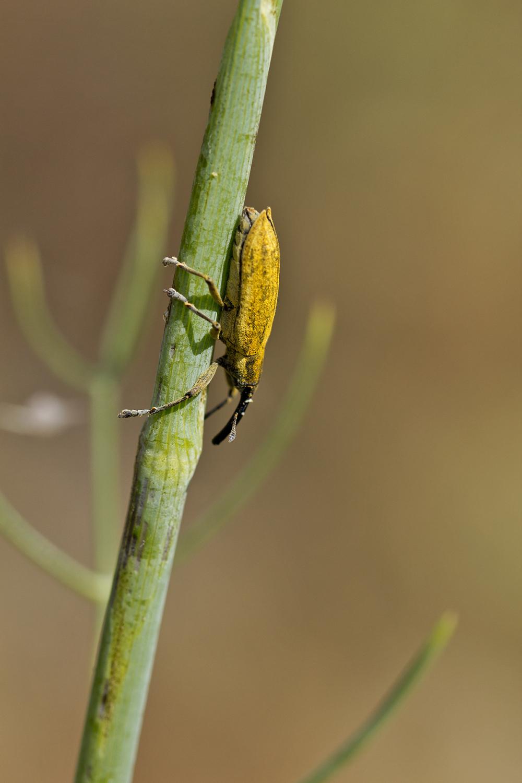 proença-a-nova gorgulho insecto coleoptera