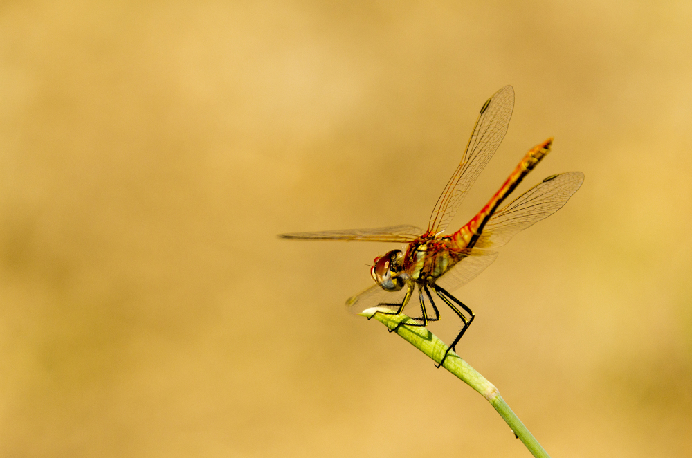 alentejo arraiolos libelinha