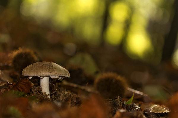 lousã cogumelo outono