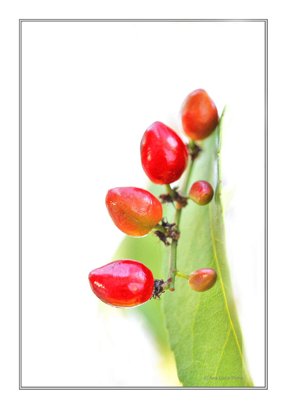 arvore serra-do-açor outono azereiro fruto high-ke
