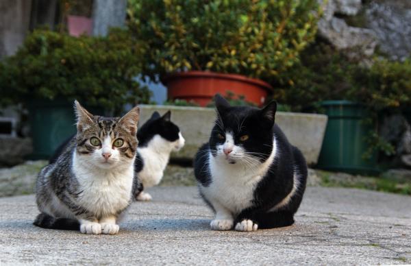 alvão gato