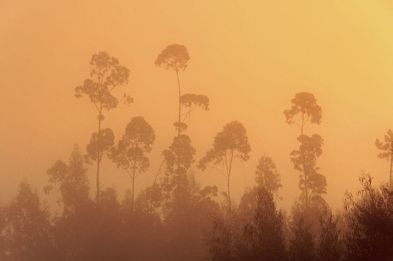 sunrise eucalipto árvores