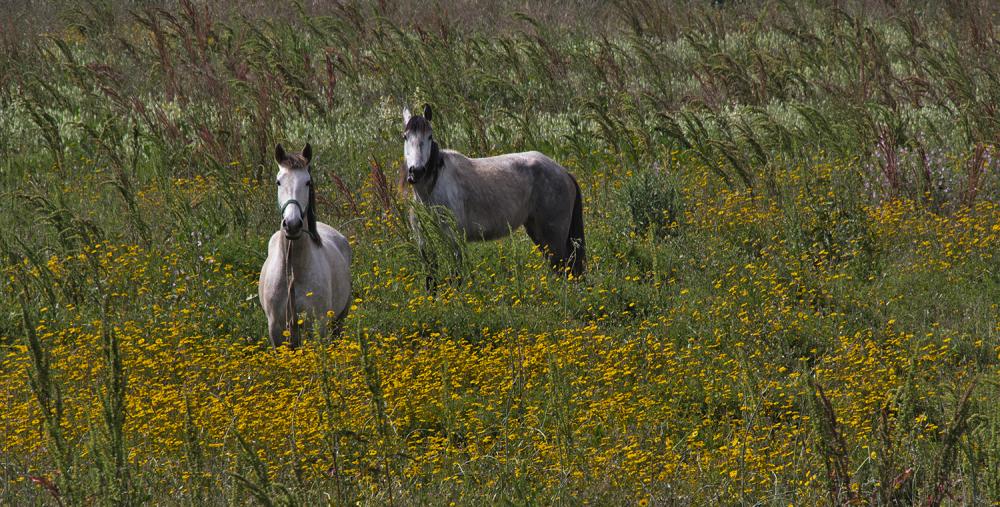 leiria cavalo