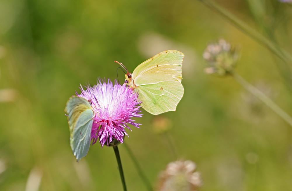 pnsac borboleta