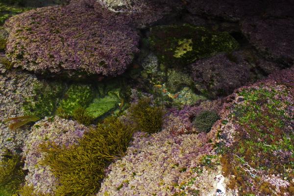 peniche  mar baleal  anemona