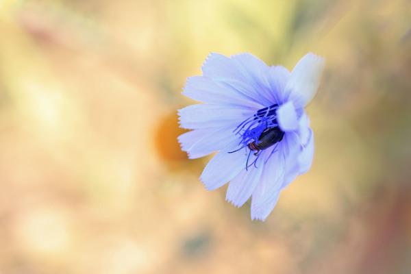 flor chicória peniche