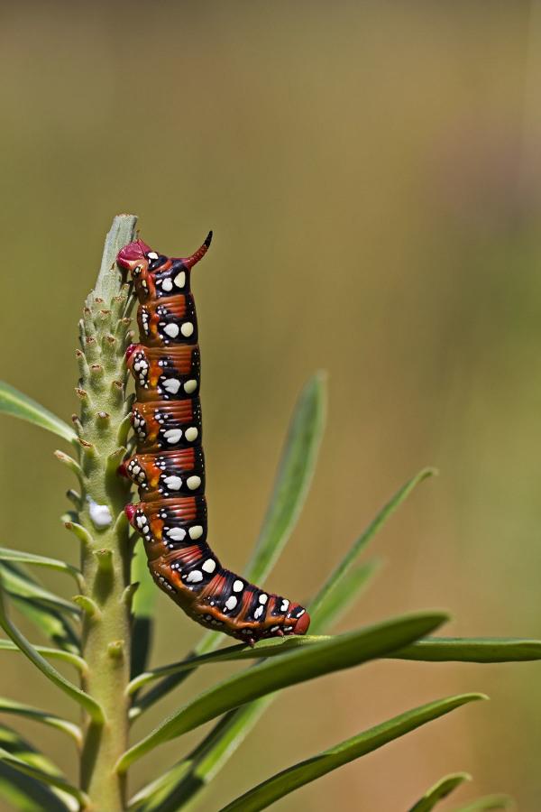 sintra lagarta borboleta