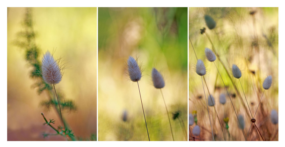 sintra flor