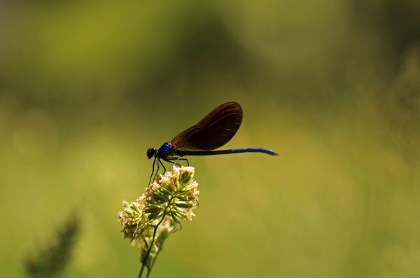 serraestrela covão-da-ametade libelinha
