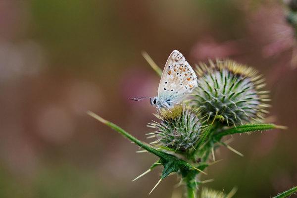 enol espanha picos-da-europa borboleta