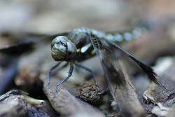 Blue Dragonfly
