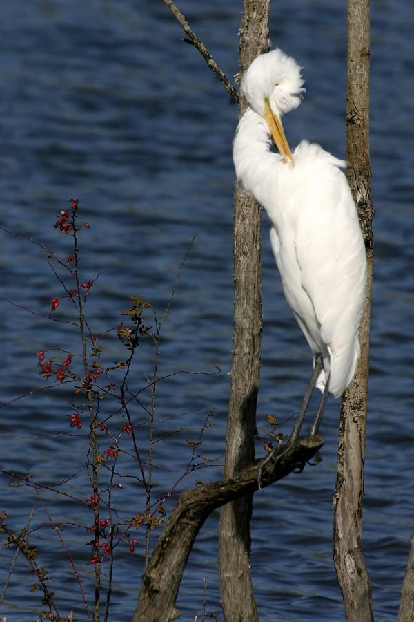 grooming egret
