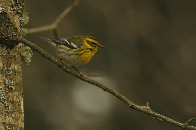 Townsend&#039;s Warbler