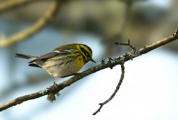 Townsend&#039;s Warbler Male