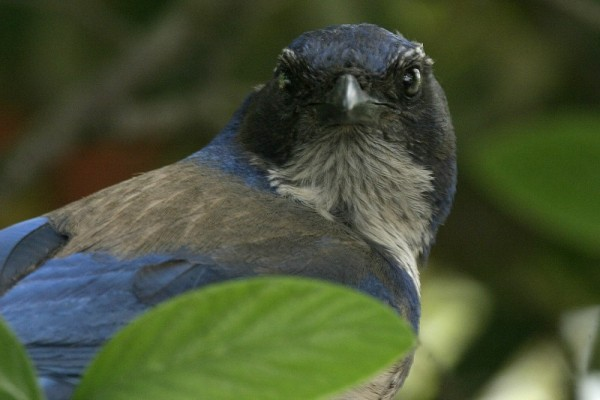 Scrub Jay Portrait (Three)