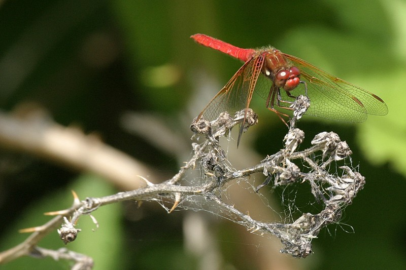 red dragonfly Anisoptera
