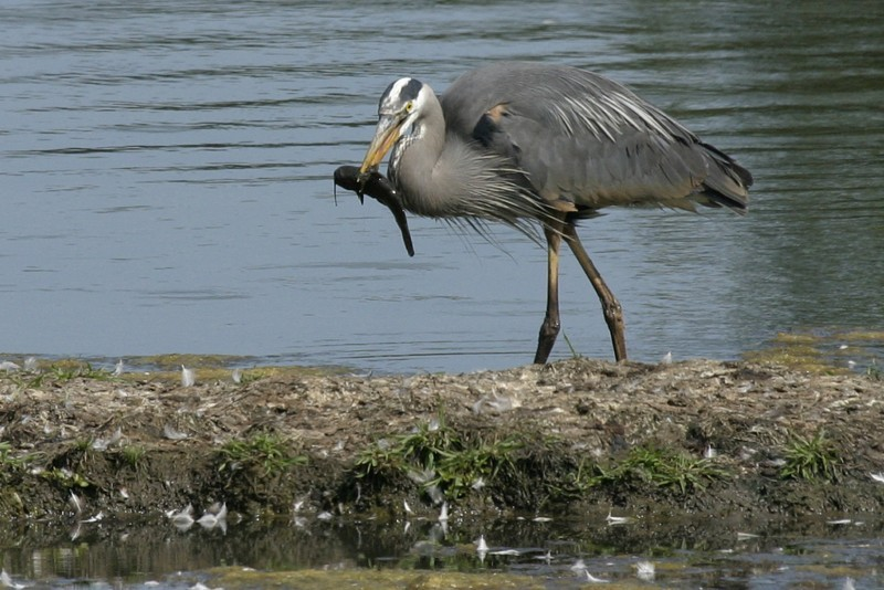 Hunting Heron
