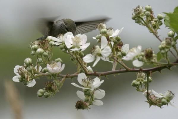 Pollinatig Hummingbird