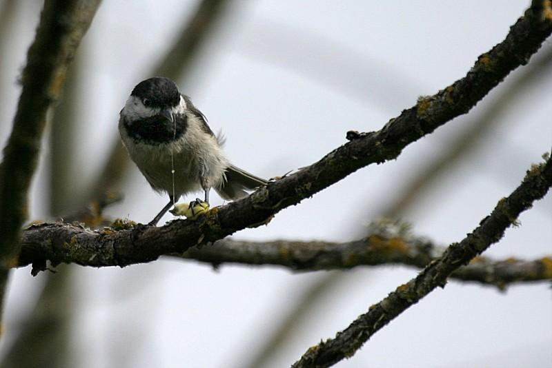 Black-Capped Chickadee Párus atricapíllus