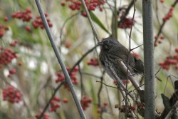 Song Sparrow with Winter Berries