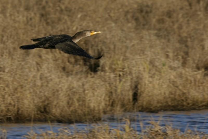 Double-Crested Cormorant (Phalacrócorax penicillát