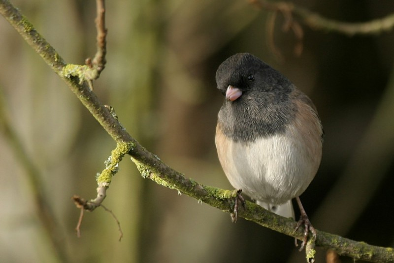 Dark-Eyed Junco Júnco hyemális