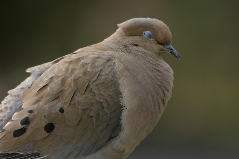Mourning Dove Zenáida asiática