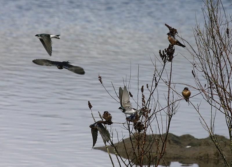 swallows barn violet-green