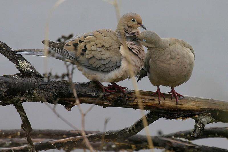 Zenáida asiática Mourning Dove