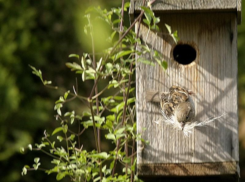 House Sparrow Pásser domésticus