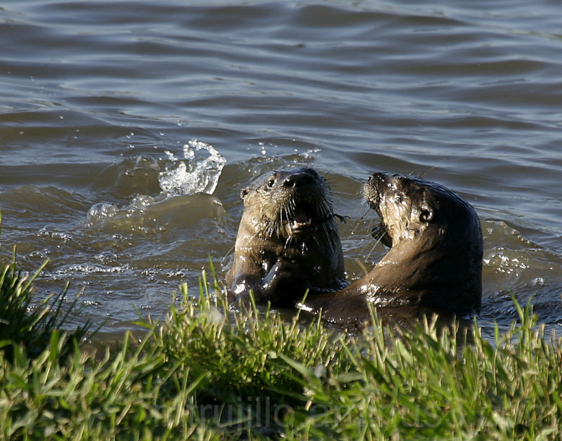 River Otter Lontra canadensis brevipilosus