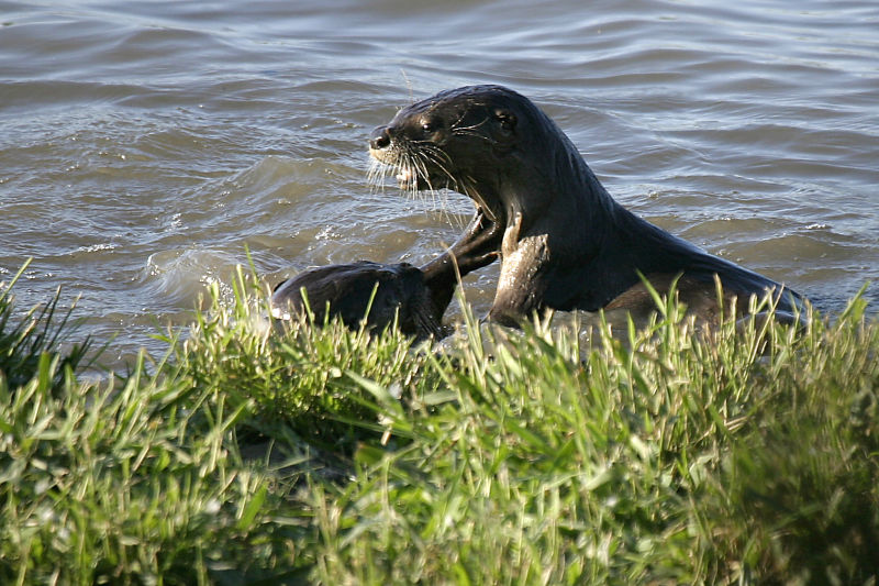River Otters Lontra canadensis brevipilosus