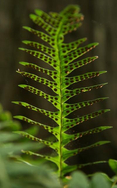 Polypodium viginianum