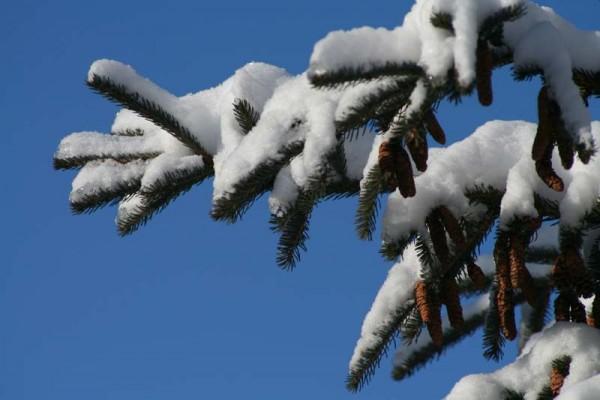 White spruce - Épinette blanche