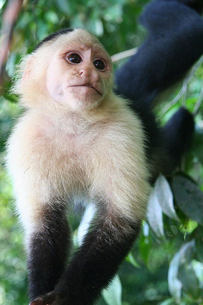 Singe Capucin - White-Throated Capuchin