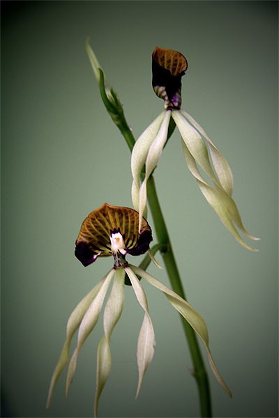 Orchidacea