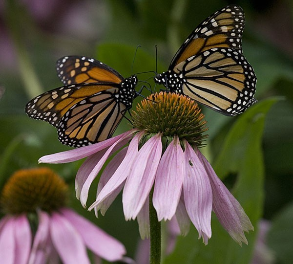 Monarchs's duo - Duo de Monarques