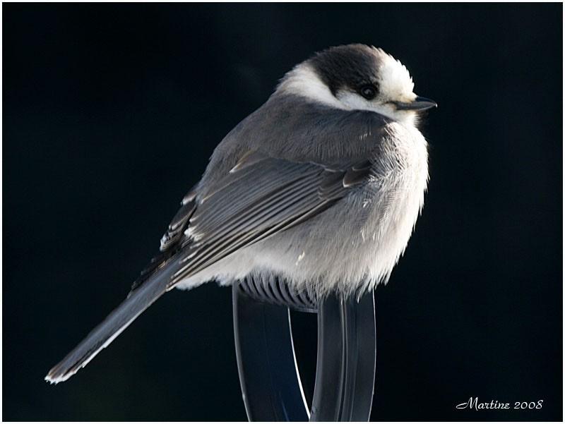 Gray Jay - Mésangeai du Canada